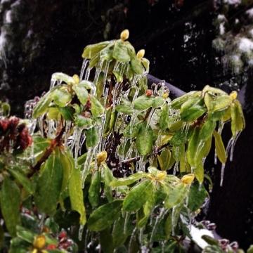 Frozen blooms.